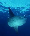 Bali Tauchen Highlight: Mondfische in Bali - Mola Mola - Oceanic Sunfish