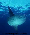 Diving Bali - Oceanic Sunfish - MOLA MOLA